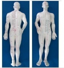 Model of the Human Body - Male - 19 inch with stand