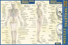 Quick Study Skeletal System - Pocket Guide