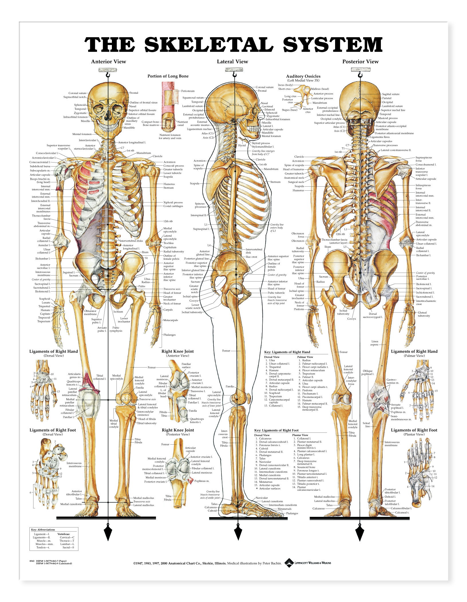 Skeletal system charts 1940 skeletal system pooptronica Choice Image