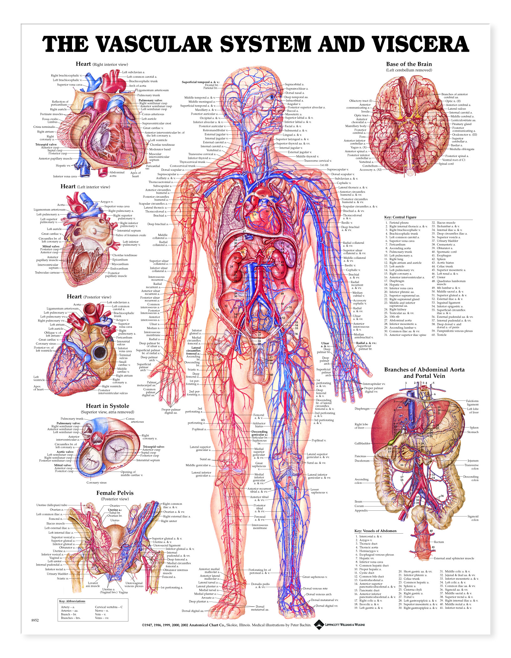 Vascular System And Viscera Charts 1941