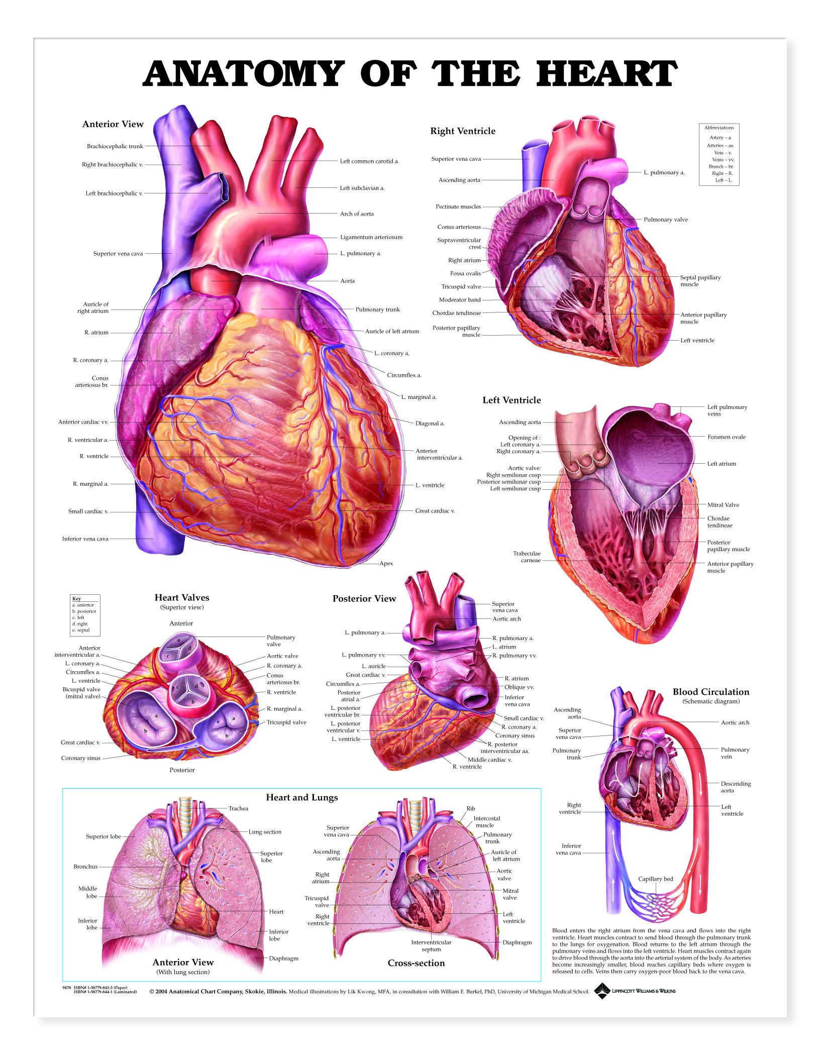 Anatomy Of The Heart Charts 1944