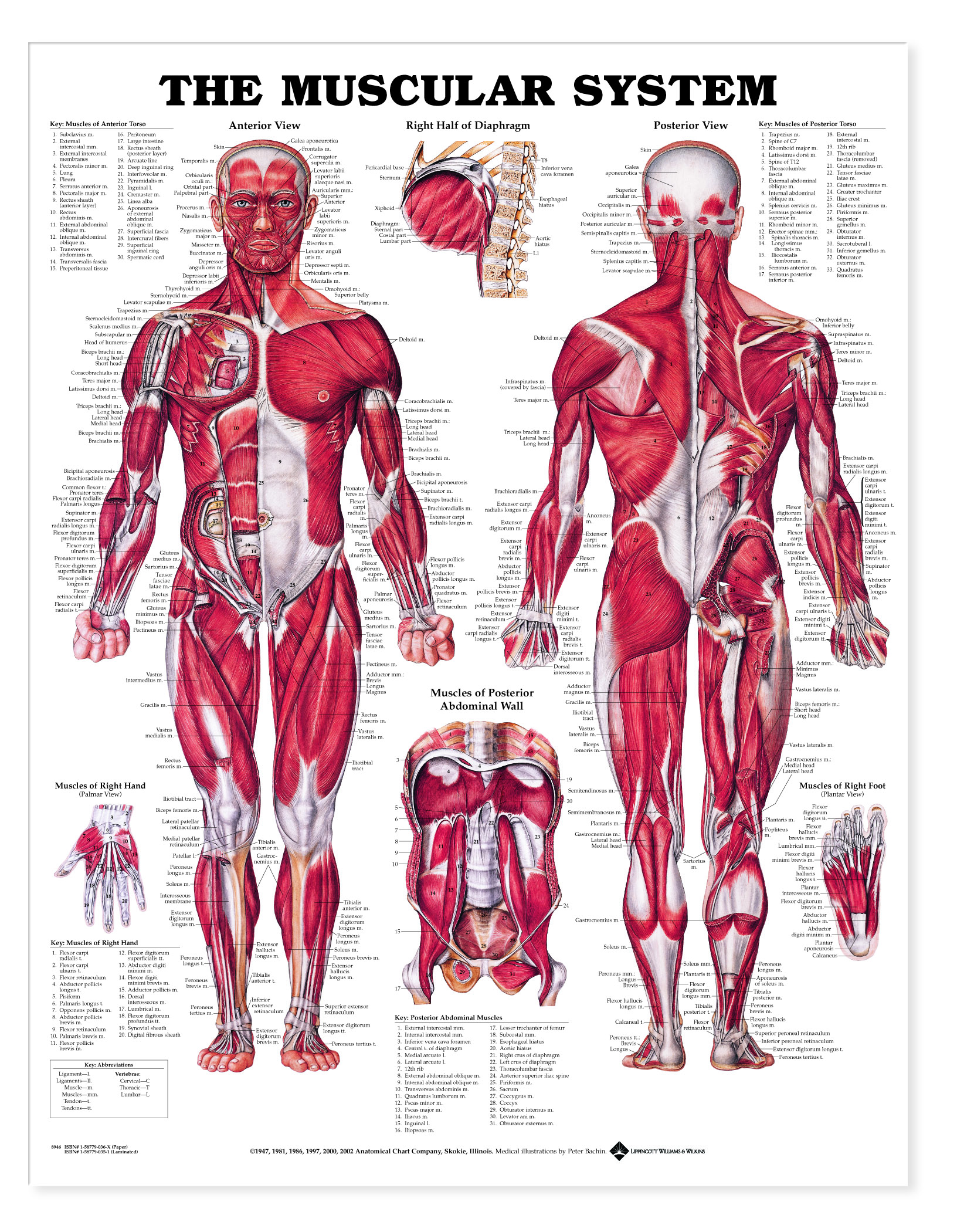 Muscular System Charts 1949