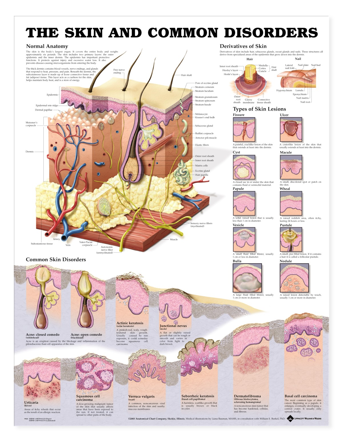 Massage Anatomy Chart Gallery Human Body Anatomy