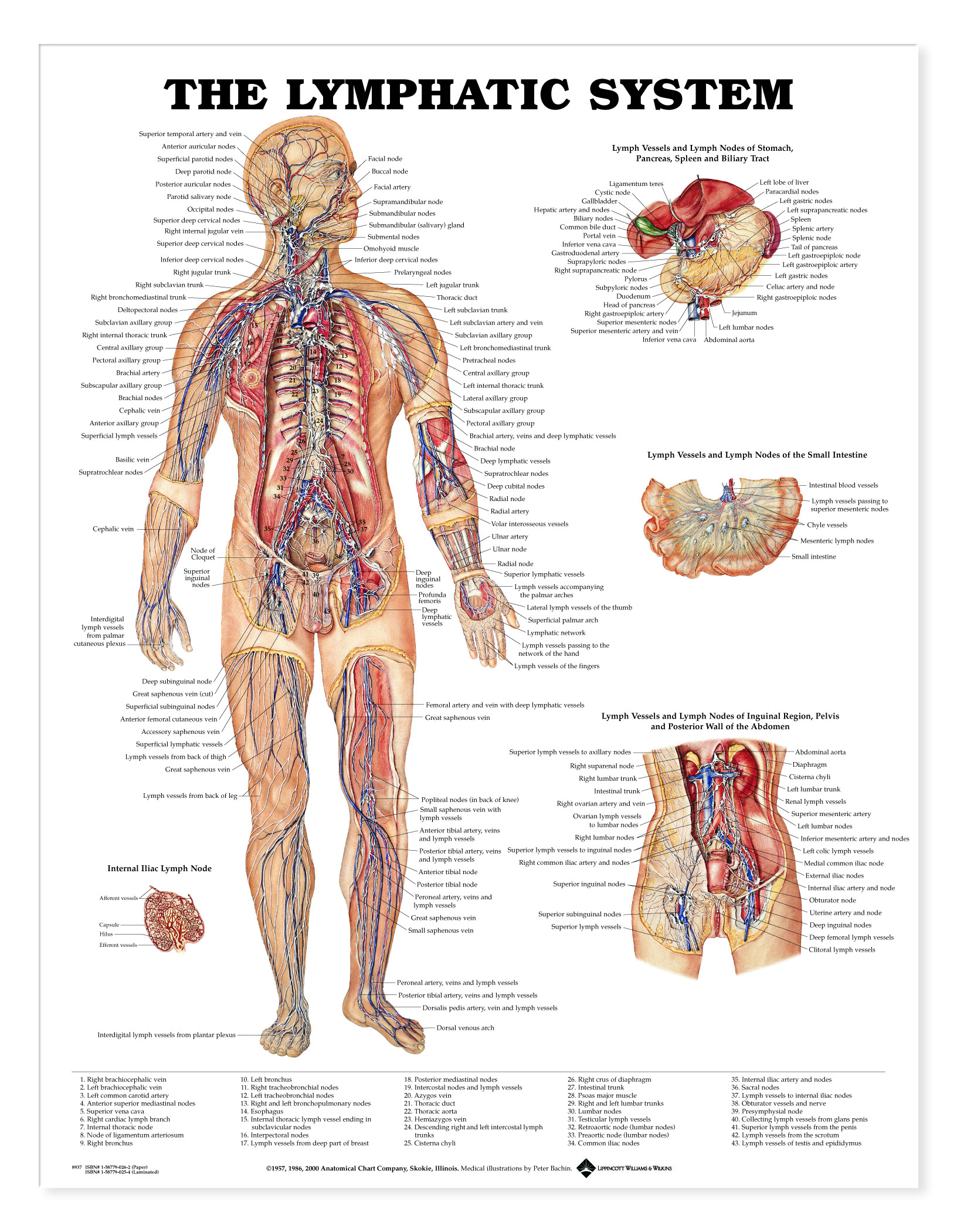 Lymphatic System - Charts | 2452