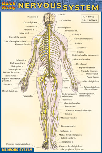 Nervous System - Pocket Guide - Charts | 228214 Quick Study