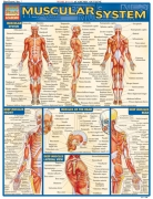 Quick Study Muscular System
