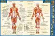 Quick Study Muscular System - Pocket Guide
