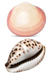 Natural Lava Shells - Mixed Case Codacia & Cowrie